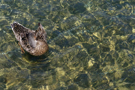 Sunlight shafts dapple the fresh, clear water of Lake Rotiti in Nelson Lakes, while a duck preens itself