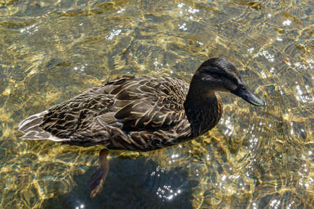 A female duck is swimming on clear, sunlit water