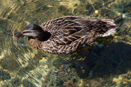 Sunlight dapples the clear fresh water of Lake Rotoiti as a female duck swims by 版權商用圖片