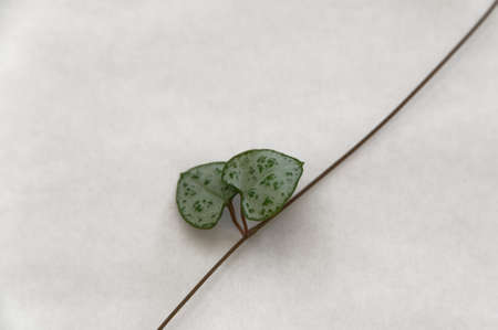 The rosary vine has hear shaped leaves that grow in pairs on a vine