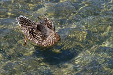 A mallard duck is paddling on crystal clear water while it grooms its feathers 版權商用圖片