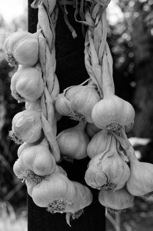 A garlic plait in black and white with many garlic bulbs