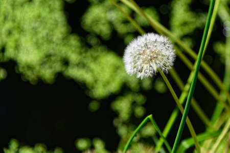 Seed dispersal has been optimised by the dandelion whose seeds are carried on the lightest of breezes