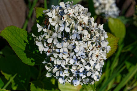 A hydrangea flower in pale blues, providing summer colour to the garden