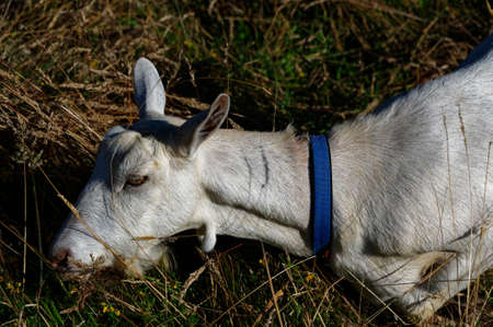 A tethered goat is eating grass