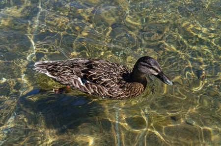 Sunlight shafts dapple the fresh, clear water of Lake Rotiti in Nelson Lakes, while a mallard duck paddles