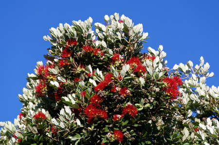 Metrosideros excelsa, the pohutukawa is often called the New Zealand Christmas tree as it blooms around Christmas with a its red flowers a mass of bright red stamens