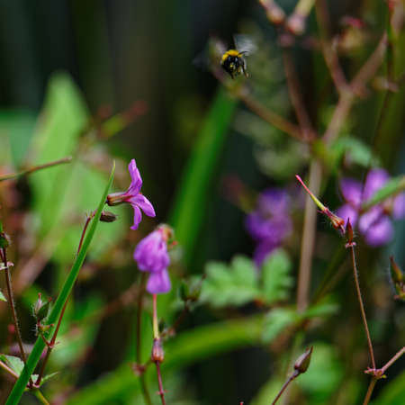 A purple cranesbill flower attracks a bumblebee looking for food 版權商用圖片
