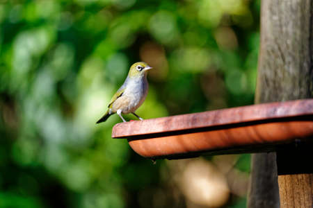 A waxeye visits a garden bird feeder looking for a winter snack