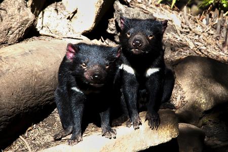 tasmania: Tasmanian Devils - Tasmania
