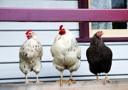 free range: Free Range Poultry on a Porch Stock Photo