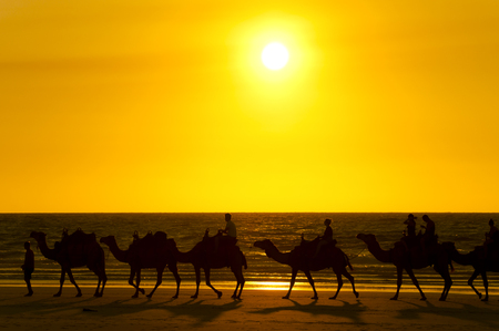 running camel: Camel Sunset - Cable Beach - Broome - Australia