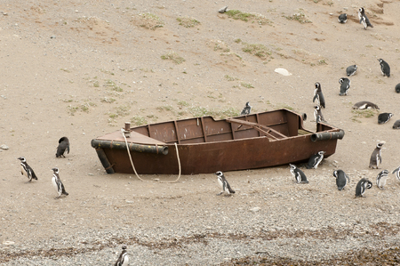 magdalena: Penguins - Magdalena Island - Chile