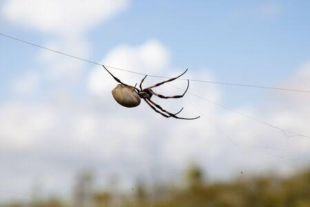 golden orb weaver: Golden Silk Orb Weaver Spider (Nephila Edulis) - Pilbara - Australia