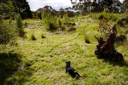 tasmanian: Tasmanian Devil - Tasmania