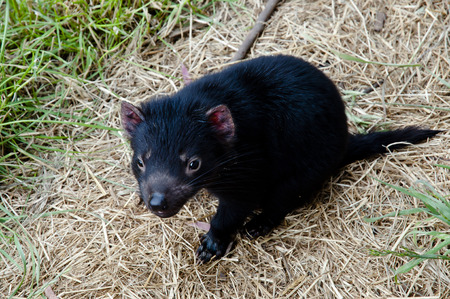 tasmanian: Young Tasmanian Devil - Tasmania Stock Photo