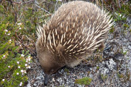 echidna: Echidna - Tasmania