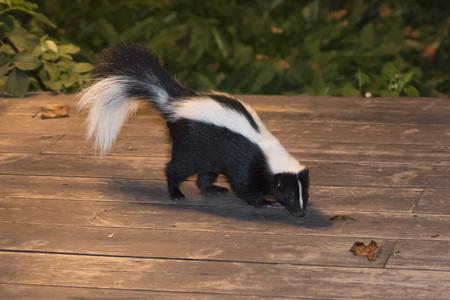 Skunk In Backyard Patio Photo