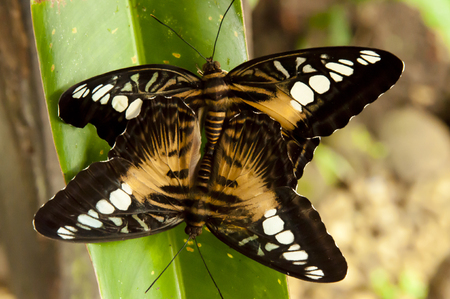 mating: Brown Clipper Butterflies Mating - Philippines