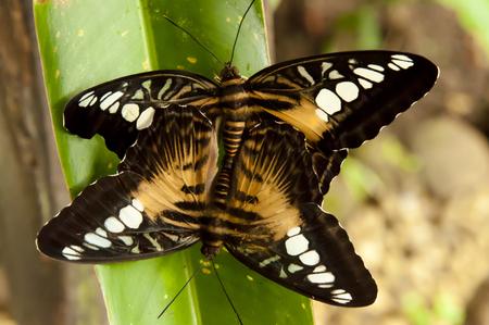 clipper: Brown Clipper Butterflies Mating - Philippines