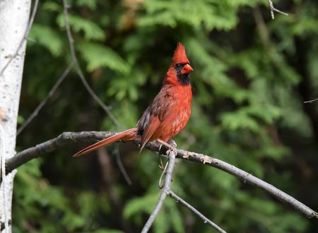 Male Northern Cardinal on a Birch Branch