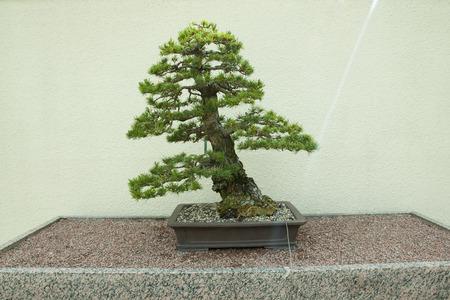 50 years old: Japanese White Pine Bonsai Tree (50 years old)