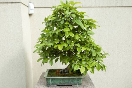20 years old: Chinese Quince Bonsai Tree (20 years old) Stock Photo