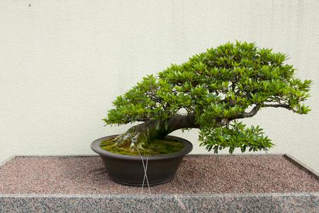 Satsuki Azalea Bonsai árbol (55 años) Foto de archivo - 54895425
