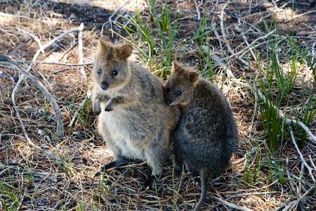 animal pouch: Quokkas - Rottnest Island - Australia