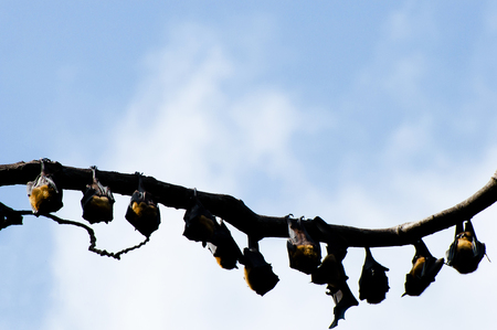 and diurnal: Indian Flying Foxes - Sri Lanka