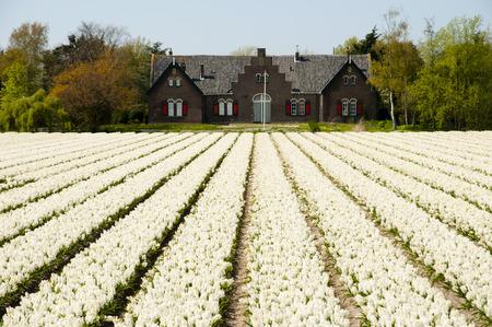 the netherlands: Flower Field on Bloemen Route - Netherlands