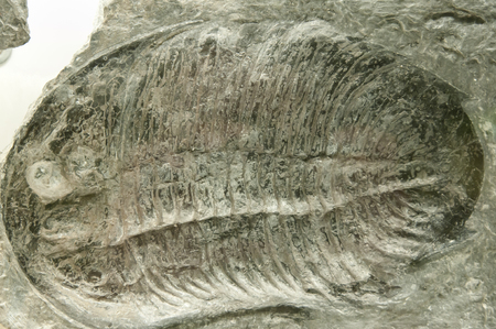 Trilobite Fossil Stock Photo