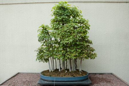55 years old: Trident Maple Bonsai Tree (55 years old)