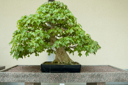Trident Maple Bonsai Tree (100 years old)