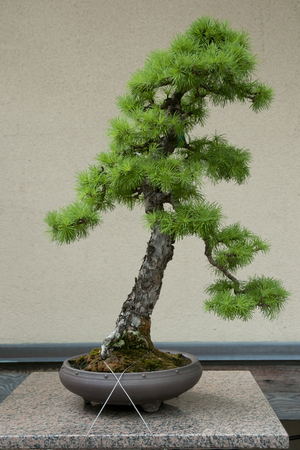 40 years old: Japanese Larch Bonsai Tree (40 years old) Stock Photo