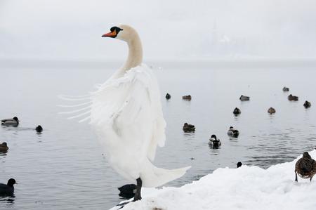 bled: Upright White Swan - Bled - Slovenia