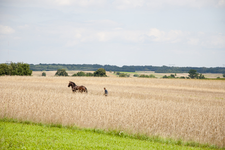 arando: Viejo-Moda Caballo Arando en campo de trigo - Polonia Foto de archivo
