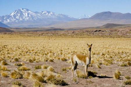 vicuna: Vicuna in the Altiplano - Chile
