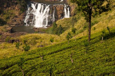 agriculture sri lanka: Tea Plantation - Sri Lanka