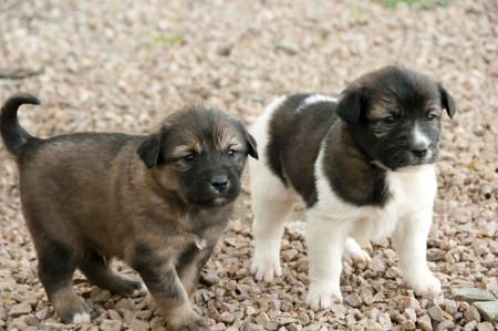 breed: Aidi Breed Puppies - Morocco