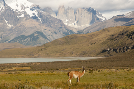 torres del paine: Vicuna - Torres Del Paine National Park - Chile