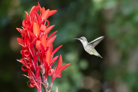 ruby throated: Female Ruby-Throated Hummingbird
