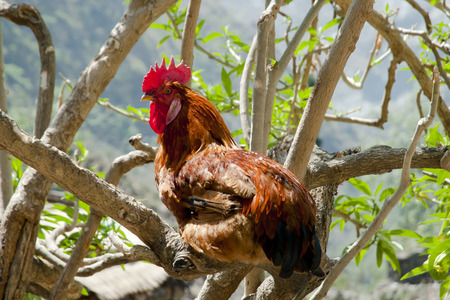 free range: Free Range Rooster Stock Photo