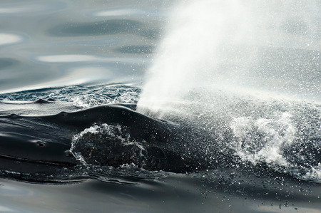 blowhole: Humpback Whale Blow Hole - Greenland