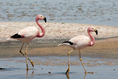 birds desert: Flamingos - Chaxa Lagoon - Chile