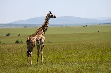 masai mara: Giraffe - Masai Mara - Kenya Stock Photo