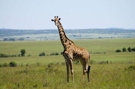 masai mara: Giraffe - Masai Mara - Kenya Stock Photo