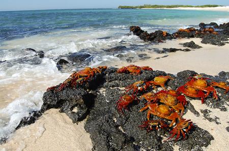 galapagos: Sally Lightfoot Crabs - Galapagos - Ecuador