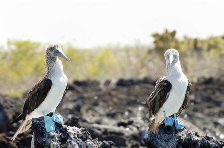 boobies: Blue Footed Boobies - Galapagos - Ecuador