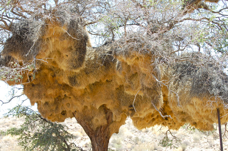 weaver bird: Weaver Bird Nest - Namibia